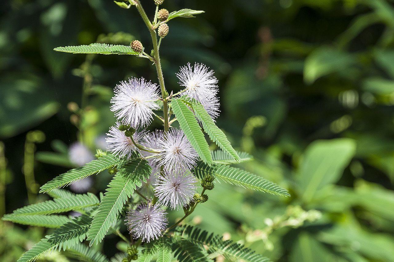 Fleur : pourquoi la sensitive se rétracte-t-elle ?