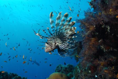 Rascasse, récifs coralliens