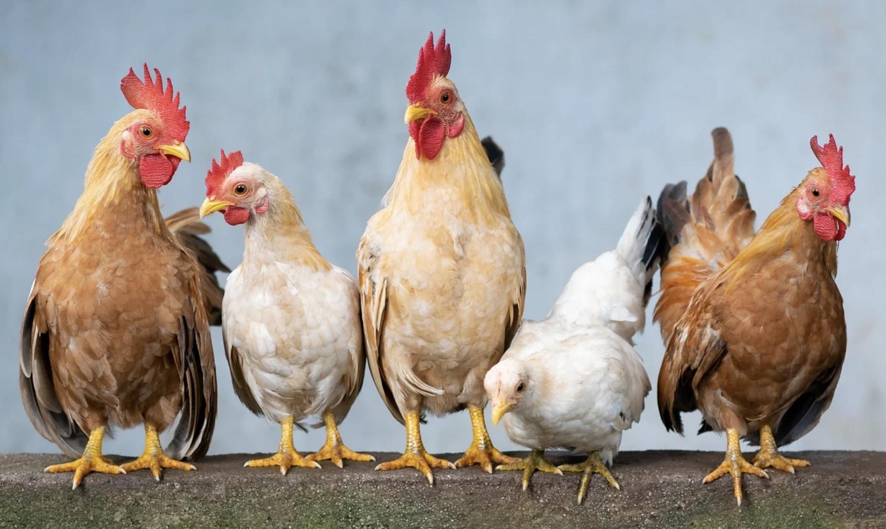 A quoi sert un canon à poulets ?