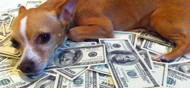 En France, un chien ne pourra jamais devenir riche. © Gigabite - The Chihuahua.
