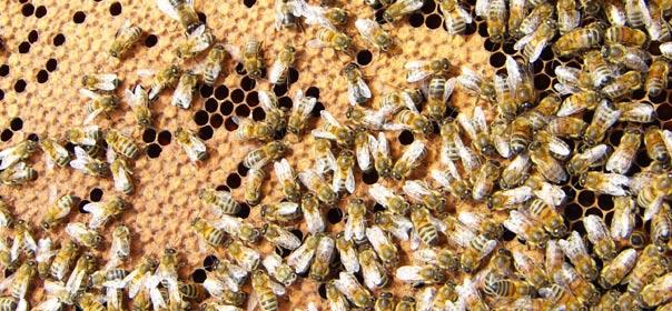 Abeilles sur un cadre de ruche, au pied de la Tour Montparnasse. © Bénédicte Lutaud