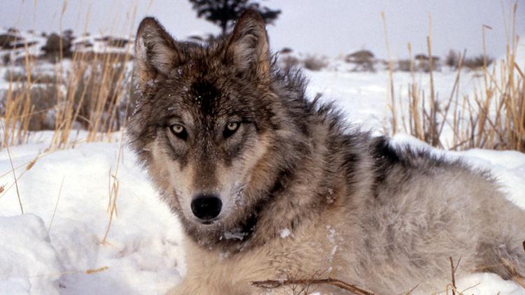 Loup, animaux