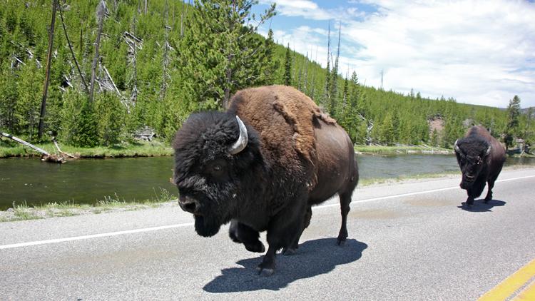 Bison, autoroute, routes