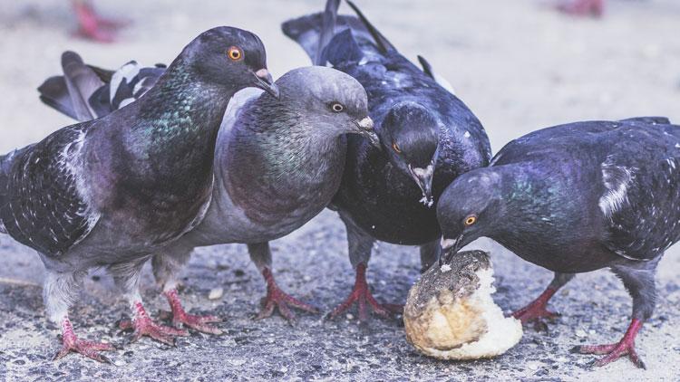 pigeons, manger, picorer