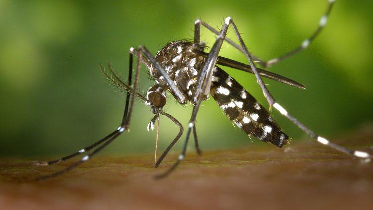 moustique, chikungunya