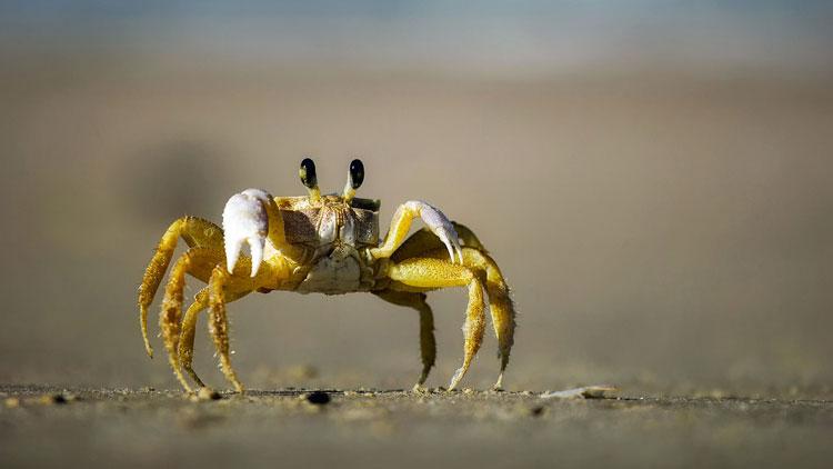 crabes, mer